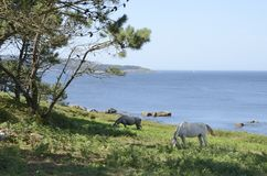 Horses grazing next to the coastline Stock Photos