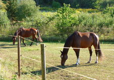 Horses grazing next to an electric fence Royalty Free Stock Photos
