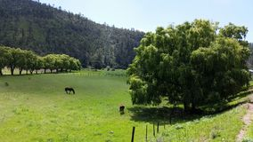 Horses grazing. Next to a magnificent tree Royalty Free Stock Photos