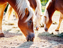 Horses grazing oats. Close-up of three horses grazing oats on a sunny evening Stock Images