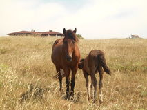 Horses Grazing On The Steppe. Foal With His Mother Horse. Stock Images