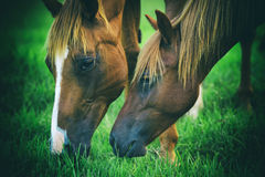 Horses grazing Royalty Free Stock Photo
