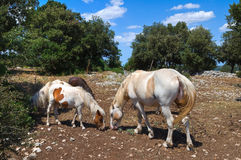 Horses grazing in a paddock. Royalty Free Stock Photo