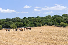 Horses grazing in a paddock. Stock Image