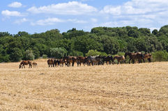 Horses grazing in a paddock. Stock Images