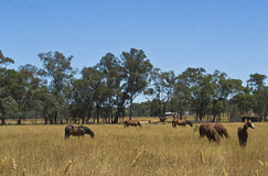 Horses grazing  in paddock on station near Dubbo, New South Wales, Australia. Stock Photo