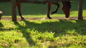 Horses grazing in the paddock at sunset. Feet closeup. stock footage