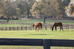Horses grazing in pasture Royalty Free Stock Photo