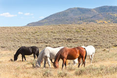 Horses Grazing in Pasture Royalty Free Stock Image