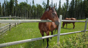 Horses grazing in pasture. Brown horses grazing in bright green pature Stock Photography