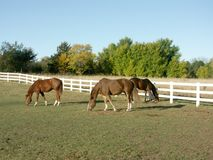 Horses grazing in pasture stock images