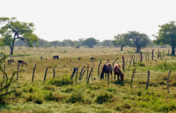 Horses grazing in pasture. A view of several horses grazing in a fenced-in pasture in Nicaragua Royalty Free Stock Image