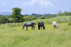 Horses Grazing in Pasture with Gate Royalty Free Stock Photo