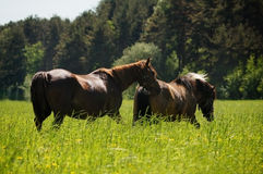 Horses grazing in the pasture in high grass Royalty Free Stock Photos