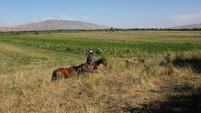 Horses are grazing in a pasture. stock video footage
