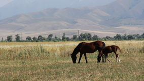 Horses are grazing in a pasture. stock video