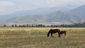 Horses are grazing in a pasture. stock footage