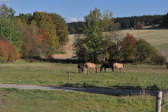 Horses on pasture in Bohemia Royalty Free Stock Photo