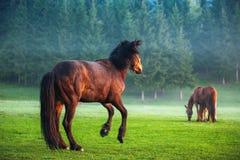Horses grazing on pasture at misty sunrise Stock Photography