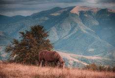 Horses grazing in pasture in mountains. Autumn landscape. Royalty Free Stock Images