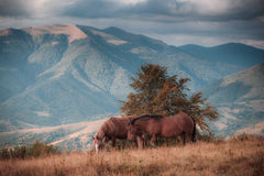 Horses grazing in pasture in mountains. Autumn landscape. Stock Images