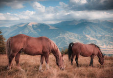 Horses grazing in pasture in mountains. Autumn landscape. Royalty Free Stock Photography