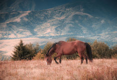 Horses grazing in pasture in mountains. Autumn landscape. Stock Photos