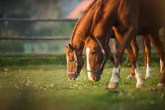 Horses grazing on pasture. Two horses grazing on pasture stock photography