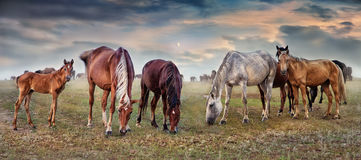 Horses grazing in the pastures. Grazing horses on pastures in the evening sky Royalty Free Stock Photos