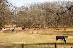 Horses Grazing in Pastures Between Fences Royalty Free Stock Images