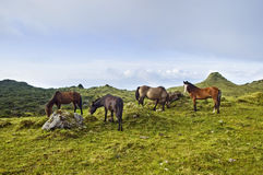 Horses grazing in Pico island, Azores Royalty Free Stock Photo