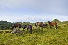 Horses grazing in Pico island, Azores royalty free stock photo