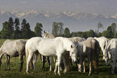 Horses grazing. On a plateau in the carpathians Royalty Free Stock Photography