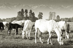 Horses grazing. On a plateau in the carpathians Stock Photography