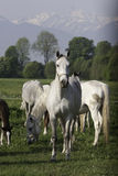 Horses in the mountains. Horses grazing on a plateau in the carpathians Stock Photos