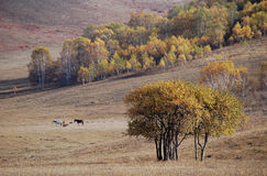 Horses grazing in prairie with birch trees Stock Image