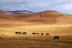 Horses grazing in autumn prairie. Horses grazing in prairie with colorful trees in autumn royalty free stock image