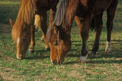 Horses grazing, Priest River, IN Royalty Free Stock Photos