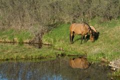 Horses grazing by river. Scenic view of quarter-horse mare and foal grazing by river or creek and reflecting water Stock Images
