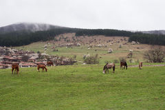 Horses grazing in the roadside pasture. View of folk museum Zheravna village in Bulgaria Stock Photography