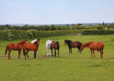 Horses Grazing in Rural England Royalty Free Stock Photo
