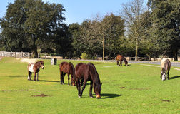 Horses Grazing in Rural England. New Forest in Hampshire England Landscape with grazing ponies Stock Images