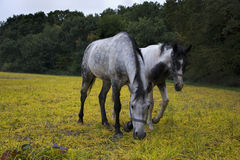 Horses grazing on a rural pasture near the forest. Livestock animals feed on farm yard Royalty Free Stock Photo
