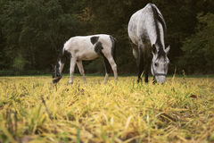 Horses grazing on a rural pasture near the forest. Livestock animals feed on farm yard Stock Photos