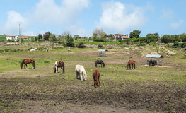 Horses grazing. Horses of Santillana del mar in Cantabria in the north of spain, you can see  some rural houses in a farm with trees  in a sunny day Stock Photography