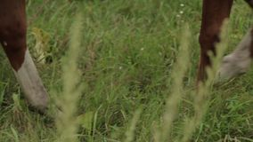 Horses grazing sappy grass in green lawn at a birch forest stock video footage