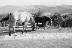 Horses. Grazing in a scenic area in the mountains Royalty Free Stock Image