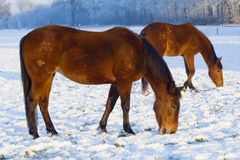 Horses grazing through snow Stock Photos