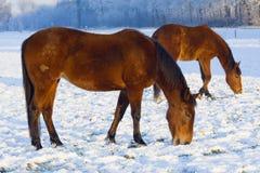 Horses grazing through snow Stock Photos