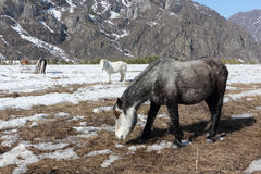 Horses are grazing on a snow glade among mountains Stock Images